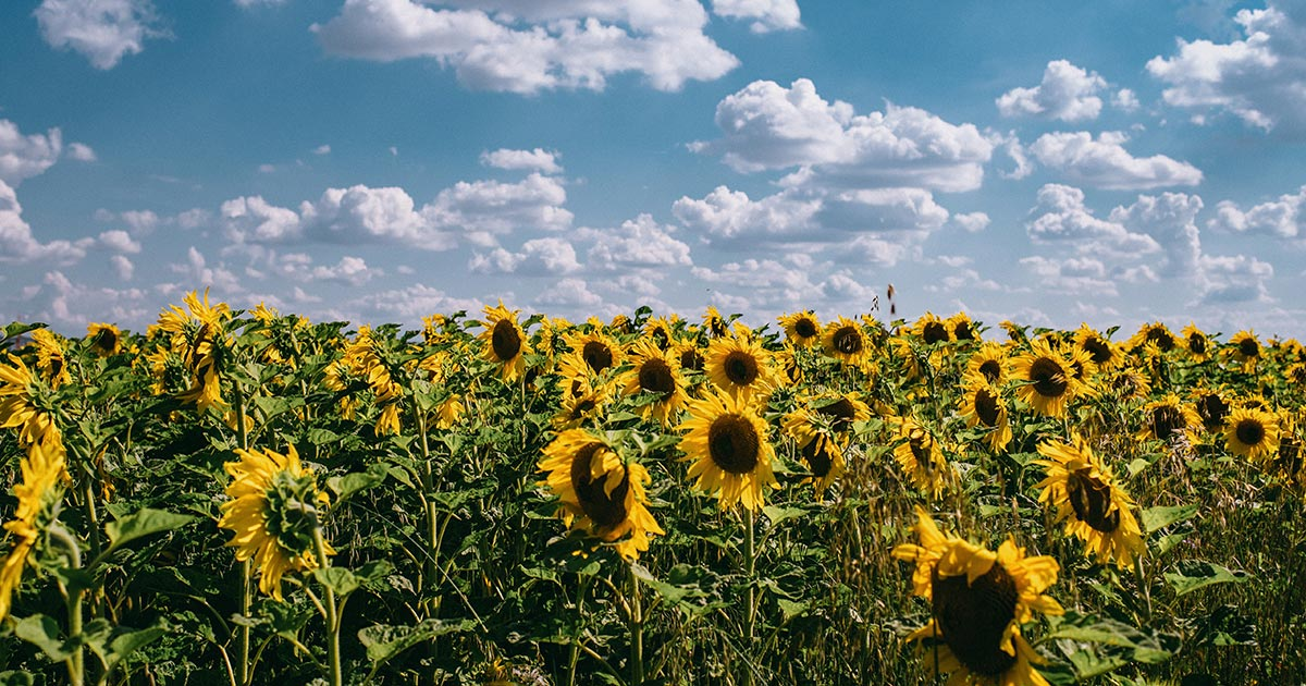 sunflowers_1200x630